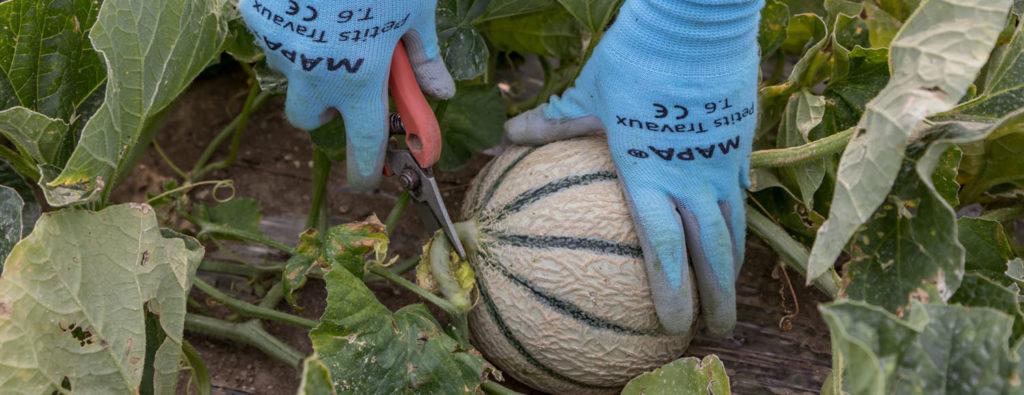 12-champs-melon-domaine-roche-regulier-jessica